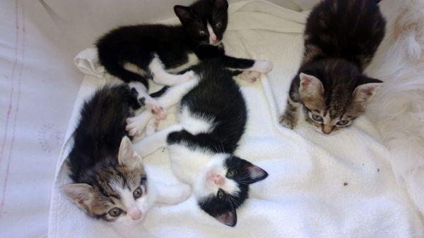 Gattini cuccioli Gattini cuccioli. Gattini appena nati bianchi in una  coperta plaid.