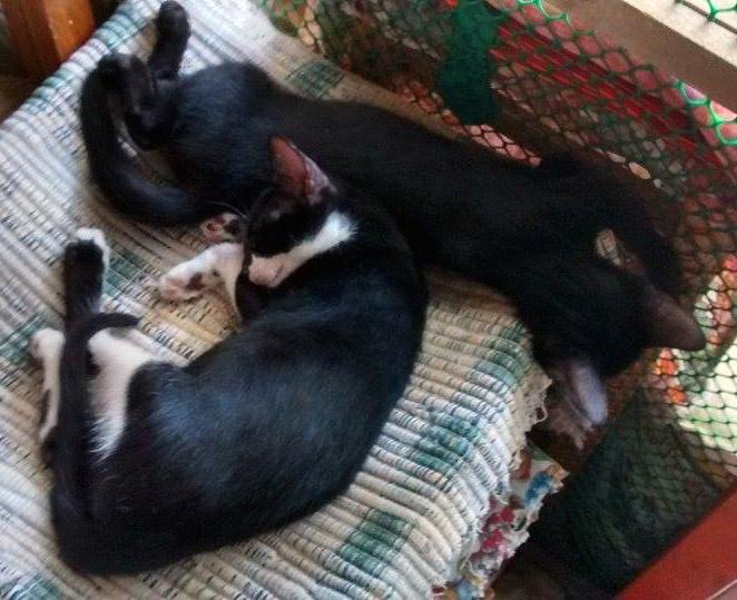 urgente-gattino-bianconero