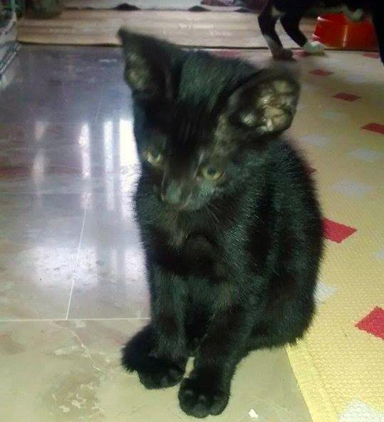 urgente-gattino-nero